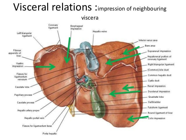 Liver Billary Apparatus