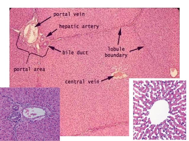 Liver histology akbaeenw histology of normal liver ccuart Images