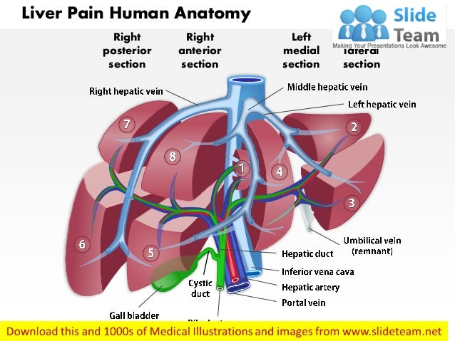 Liver pain human anatomy medical images for power point