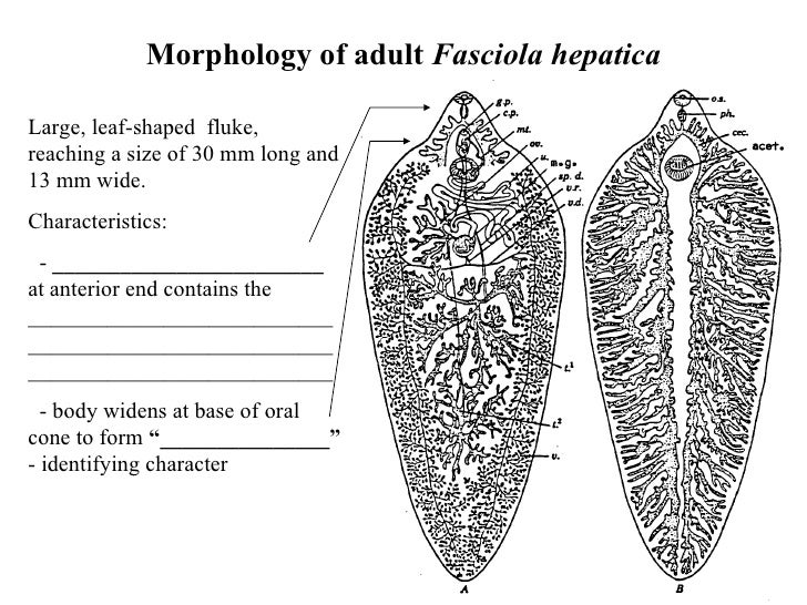 Liver trematodes 4 morphology of adult fasciola hepatica ccuart Gallery