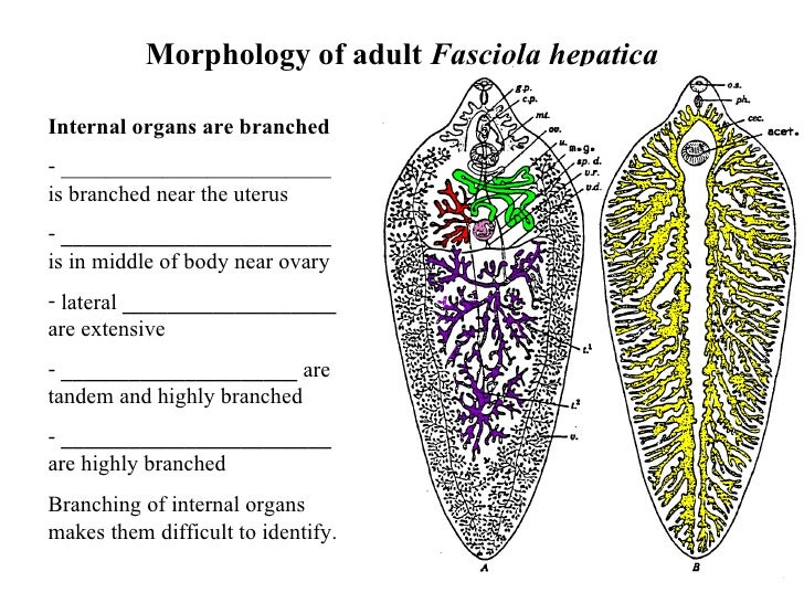 an introduction to the trematodes fasciola hepatica Over 100 species of food-borne trematodes are known to nematodenet and an introduction to trematodenet nucleic acids fasciola hepatica: mgi.