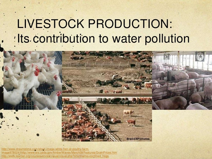 LIVESTOCK PRODUCTION:          Its contribution to water pollutionhttp://www.dreamstime.com/stock-image-white-hen-at-poult...