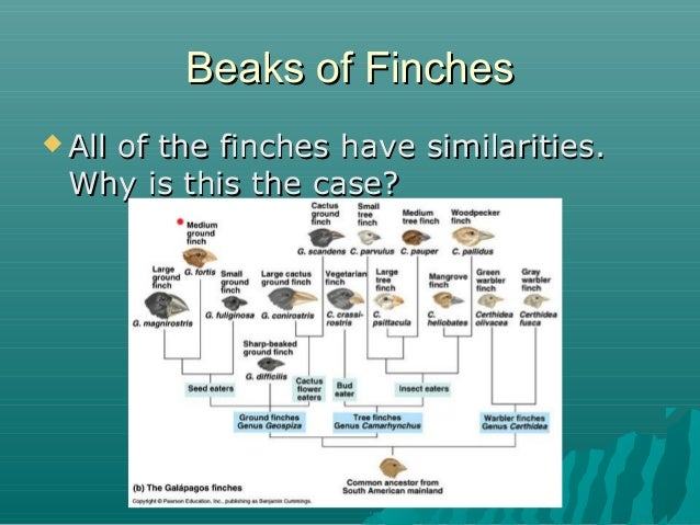 Beaks of Finches  All  of the finches have similarities. Why is this the case?