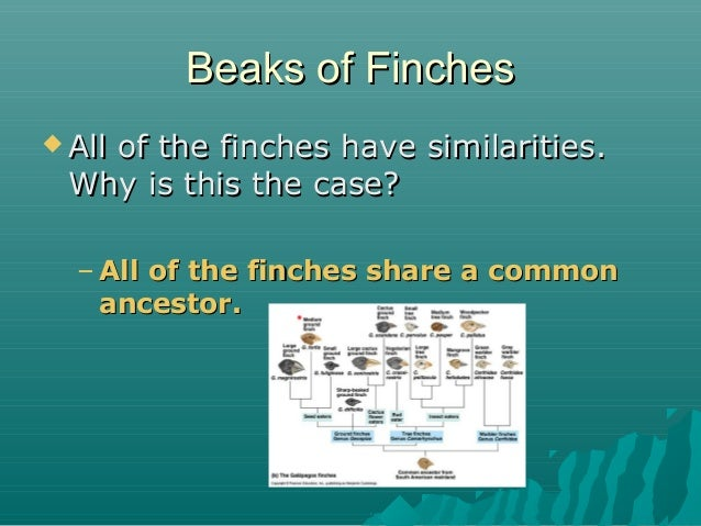 Beaks of Finches  All  of the finches have similarities. Why is this the case? – All of the finches share a common ancest...