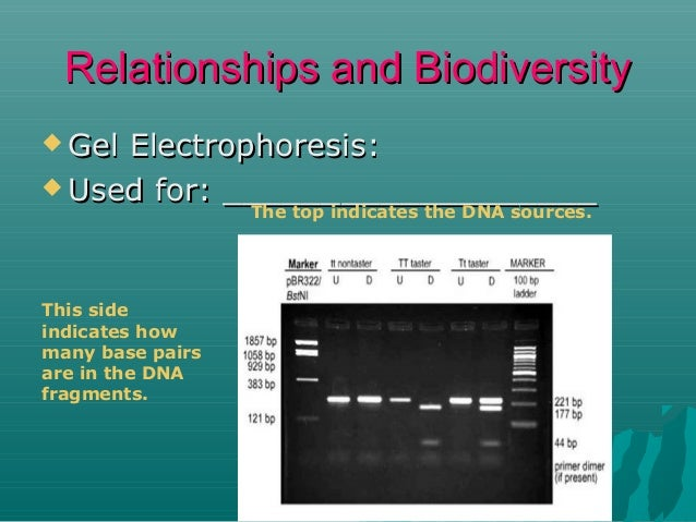 Relationships and Biodiversity  Gel  Electrophoresis:  Used for: ___________________ The top indicates the DNA sources. ...