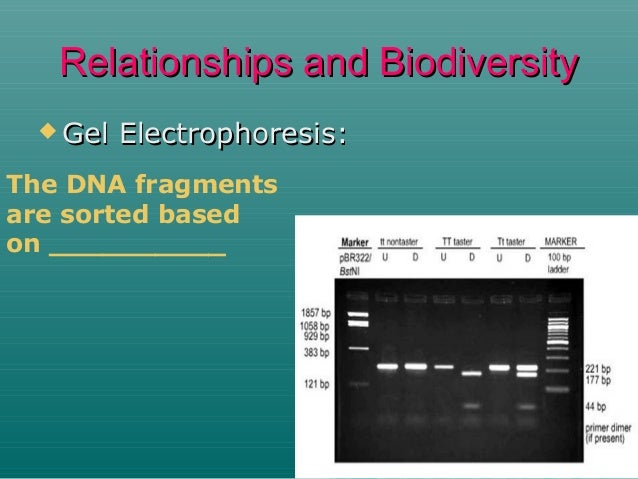 Relationships and Biodiversity  Gel  Electrophoresis:  The DNA fragments are sorted based on __________