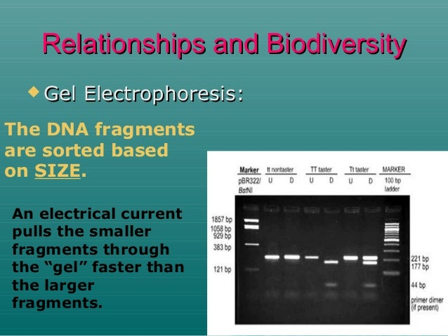 Relationships and Biodiversity  Gel  Electrophoresis:  The DNA fragments are sorted based on SIZE. An electrical current ...