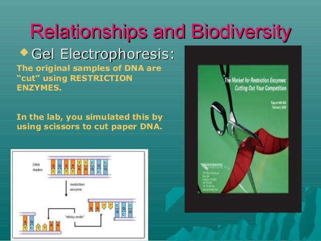 """Relationships and Biodiversity  Gel  Electrophoresis:  The original samples of DNA are """"cut"""" using RESTRICTION ENZYMES. I..."""