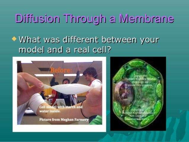 Diffusion Through a Membrane  What  was different between your model and a real cell?  Not living  No organelles No prote...