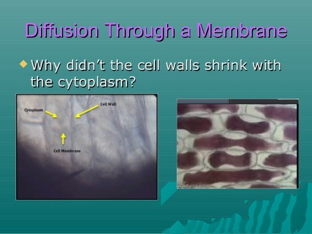Diffusion Through a Membrane  Why  didn't the cell walls shrink with the cytoplasm? – Cell walls are rigid – they provide...
