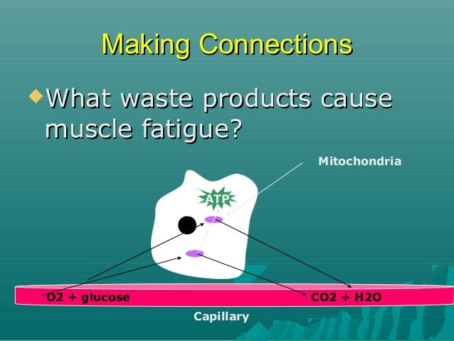Making Connections What  waste products cause muscle fatigue? CO2, Lactic Mitochondria Acid ATP  Or, Lactic acid O2 + glu...