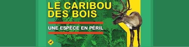LE CARIBOU  DES BOIS  UNE ESPÈCE EN PÉRIL