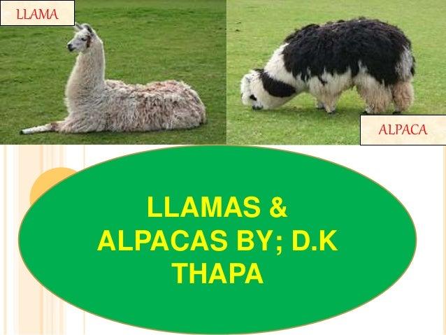 LLAMA LLAMAS & ALPACAS BY; D.K THAPA ALPACA