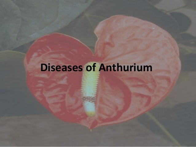 Anthurium plants in bangalore dating 5
