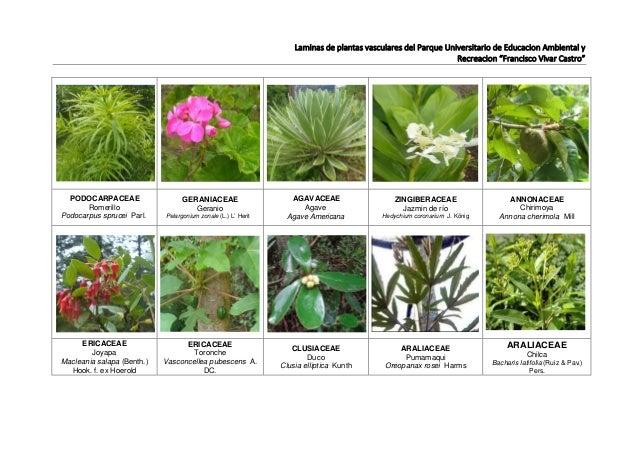 L minas de especies vasculares del puear for Plantas ornamentales con sus nombres lamina