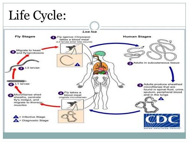 Filarial Worms Life Cycle Loa loa