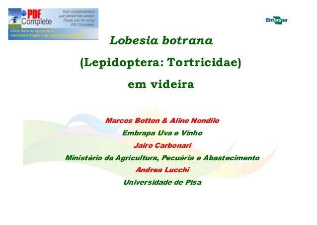 Lobesia botrana  (Lepidoptera: Tortricidae)  em videira  Marcos Botton & Aline Nondilo  Embrapa Uva e Vinho  Jairo Carbona...