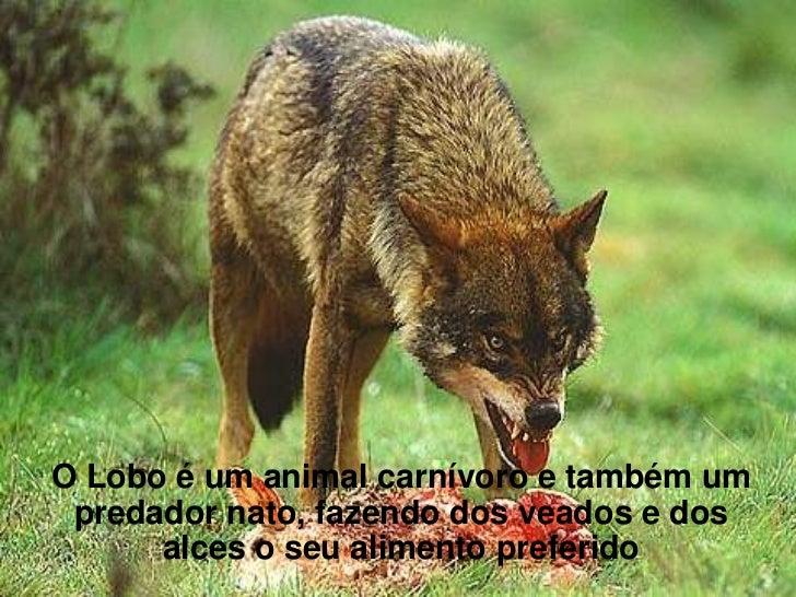 O Lobo é um animal carnívoro e também um predador nato, fazendo dos veados e dos      alces o seu alimento preferido
