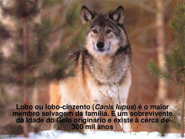 Lobo ou lobo-cinzento (Canis lupus) é o maiormembro selvagem da família. É um sobrevivente da Idade do Gelo originário e e...