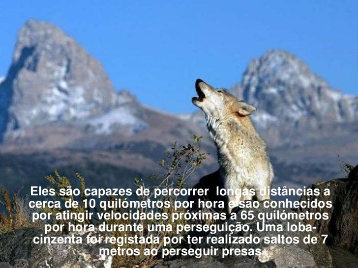 Eles são capazes de percorrer longas distâncias acerca de 10 quilómetros por hora e são conhecidos por atingir velocidades...