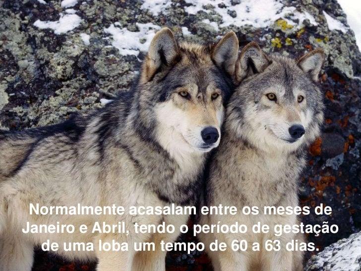 Normalmente acasalam entre os meses deJaneiro e Abril, tendo o período de gestação  de uma loba um tempo de 60 a 63 dias.