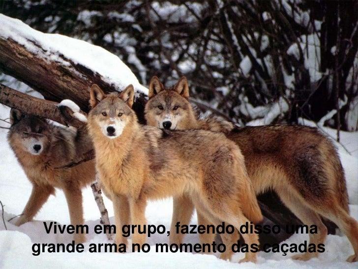 Vivem em grupo, fazendo disso umagrande arma no momento das caçadas.