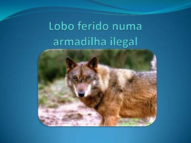 Onde? Quando?Um jovem lobo, vítima de uma armadilha ilegal, é por estes dias o paciente mais especial do Hospital Veteriná...