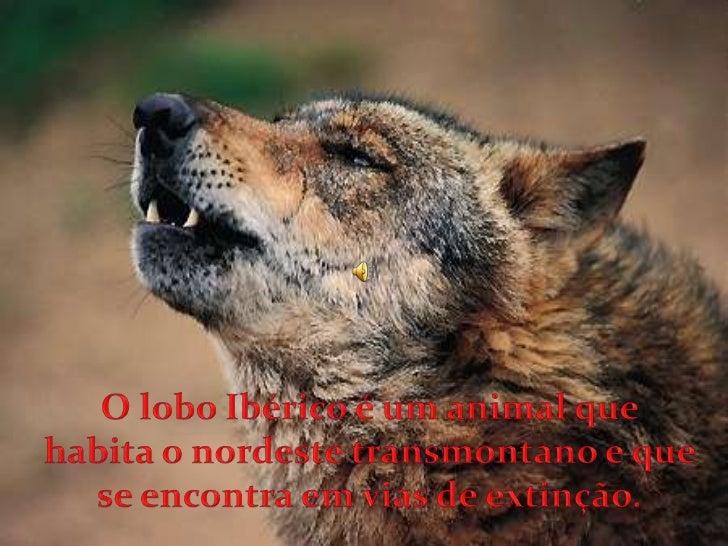 O lobo Ibérico é um animal que habita o nordeste transmontano e que se encontra em vias de extinção.  <br />