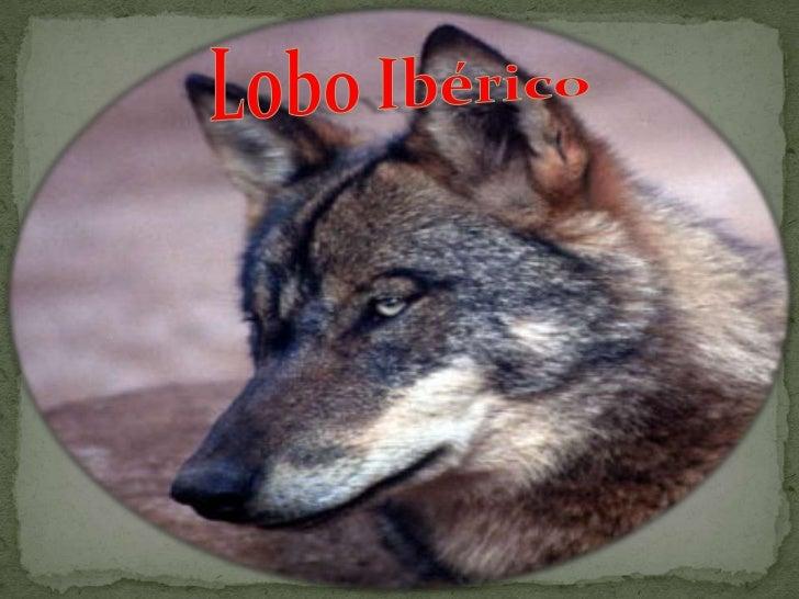 Lobo iberico Slide 2