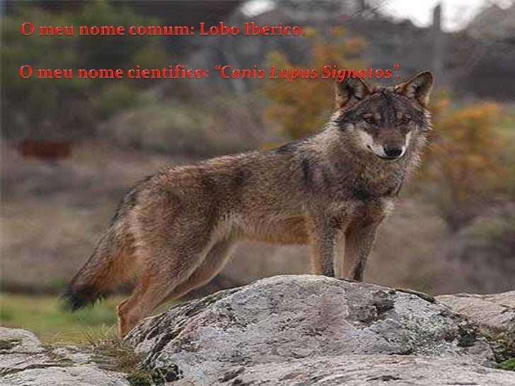 Lobo iberico Slide 3