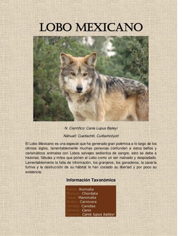 LOBO MEXICANO                        N. Científico: Canis Lupus Baileyi                       Náhuatl: Cuetlachtli, Cuitla...