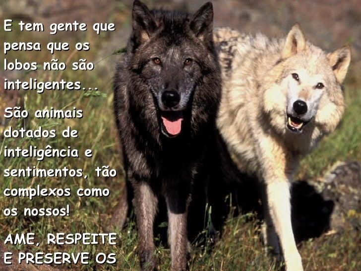 E tem gente que pensa que os lobos não são inteligentes... São animais dotados de inteligência e sentimentos, tão complexo...