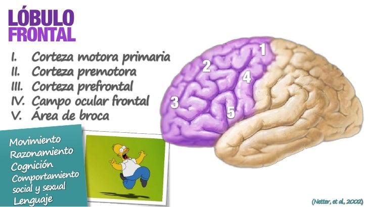 Lóbulos Cerebrales: La corteza cerebral