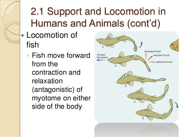 fish locomotion Since fish locomotion is mainly about locomotion in water, shouldn't we include dolphin's mode of move about and, what about the locomotion of squids, shrimps, octupuses.
