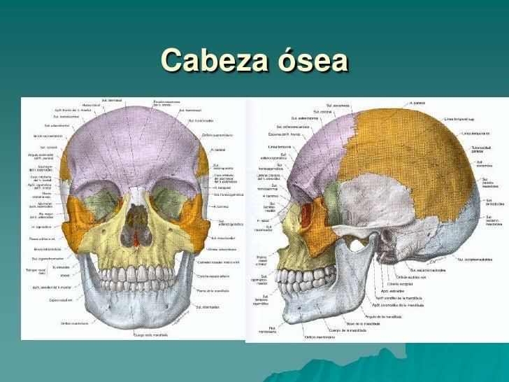 Único La Anatomía De La Cabeza Adorno - Anatomía de Las Imágenesdel ...