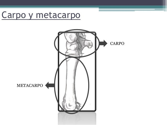 Esqueleto de la mano del equino carpo y metacarpo