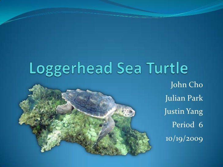 Loggerhead Sea Turtle<br />John Cho<br />Julian Park<br />Justin Yang<br />Period  6<br />10/19/2009<br />
