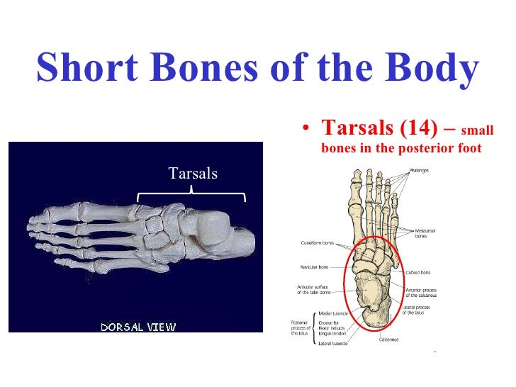 Long Short Flat Irregular Bones
