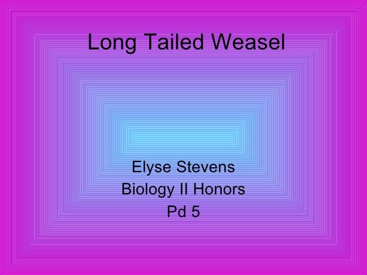 Long Tailed Weasel Elyse Stevens Biology II Honors Pd 5