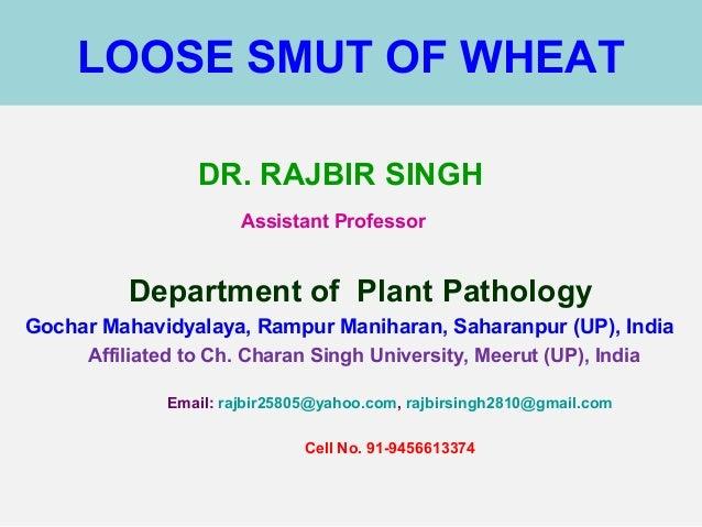 LOOSE SMUT OF WHEAT DR. RAJBIR SINGH Assistant Professor Department of Plant Pathology Gochar Mahavidyalaya, Rampur Maniha...