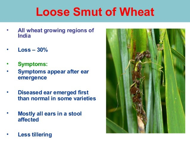 Loose Smut Of Wheat