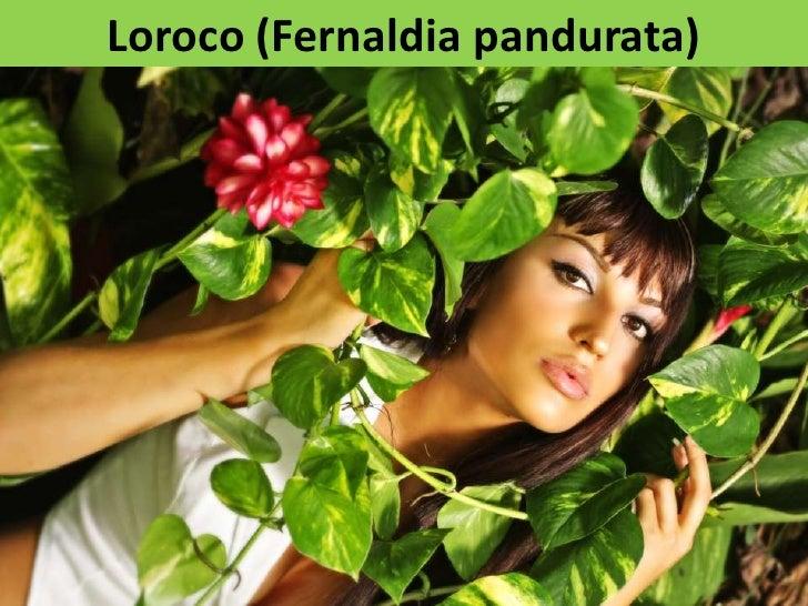Loroco (Fernaldia pandurata)