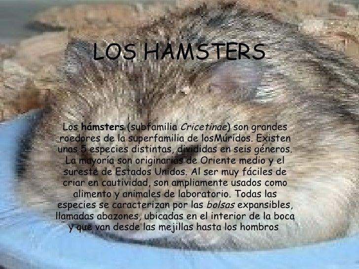 LOS HAMSTERS Los  hámsters  (subfamilia  Cricetinae ) son grandes roedores de la superfamilia de losMúridos. Existen unas ...