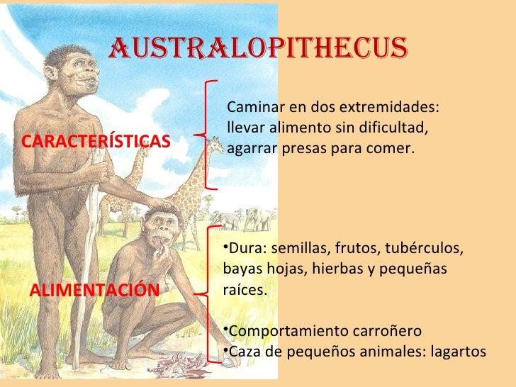 Australopithecus Caminar en dos extremidades: llevar alimento sin dificultad, agarrar presas para comer. <ul><li>Dura: sem...