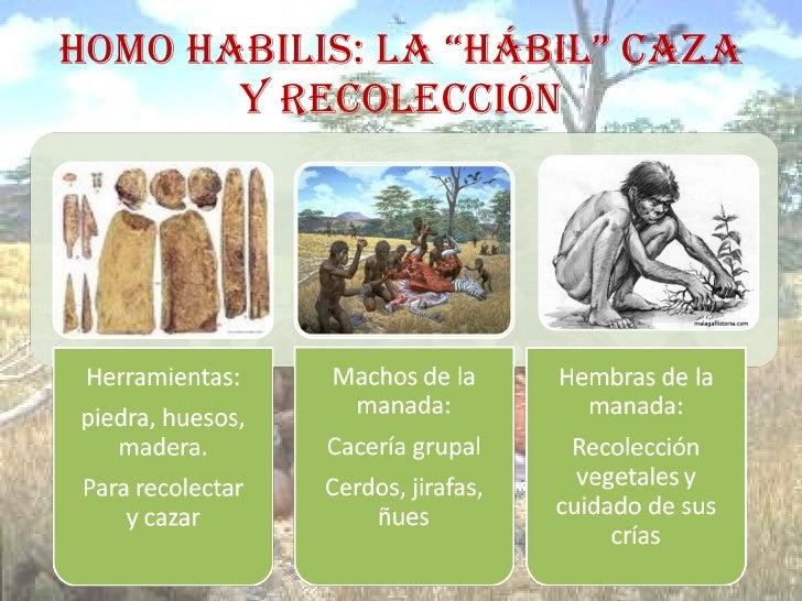 """HOMO HABILIS: LA """"HÁBIL"""" CAZA Y RECOLECCIÓN"""