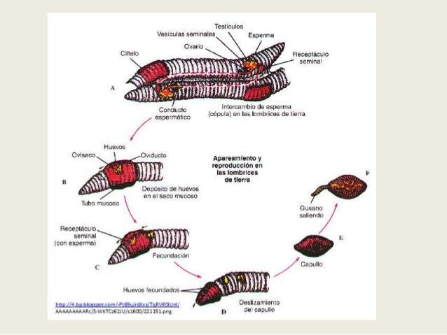 COMPORTAMIENTO GENERAL.-• La lombriz de tierra es uno  de los animales más  inofensivos.• Carecen       de      órganos  s...