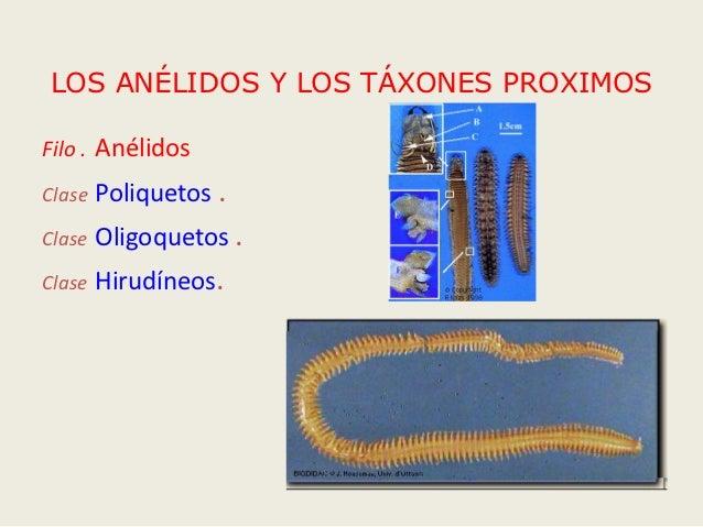 LOS ANÉLIDOS Y LOS TÁXONES PROXIMOSFilo . AnélidosClase   Poliquetos .Clase   Oligoquetos .Clase   Hirudíneos.