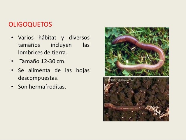 OLIGOQUETOS• Varios hábitat y diversos  tamaños     incluyen   las  lombrices de tierra.• Tamaño 12-30 cm.• Se alimenta de...