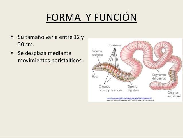 FORMA Y FUNCIÓN• Su tamaño varía entre 12 y  30 cm.• Se desplaza mediante  movimientos peristálticos .