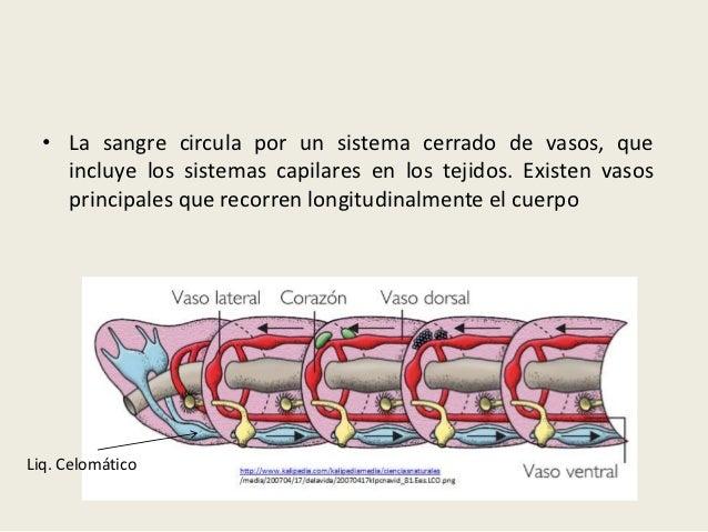 • La sangre circula por un sistema cerrado de vasos, que    incluye los sistemas capilares en los tejidos. Existen vasos  ...